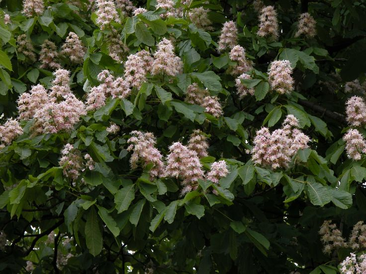 Horse Chestnut Tree flowering   Utrecht, Daalseweg 74 ...
