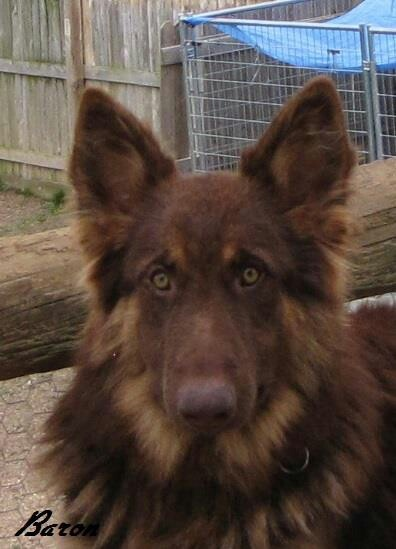 Solid Liver Colored German Shepherd Dog Breeds Picture