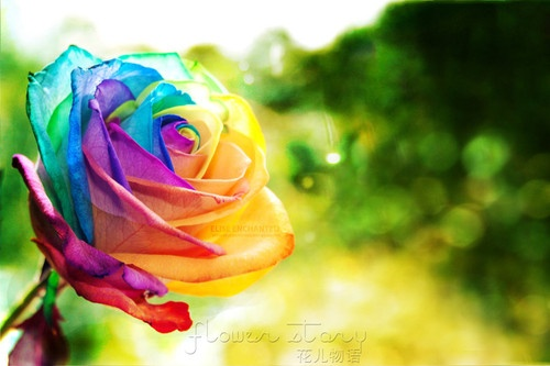 100 seeds rare holland rainbow rose flower seed to your for Growing rainbow roses from seeds