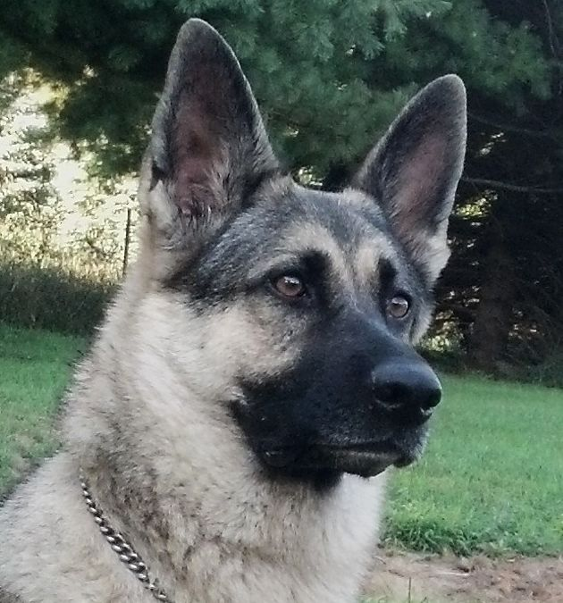 Jezzabelle silver sable German Shepherd | GSD - is there ...