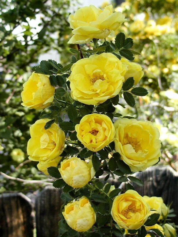 "This ""n"" That - Yellow Rose Bush | Yellow Roses My Fav | Pinterest"