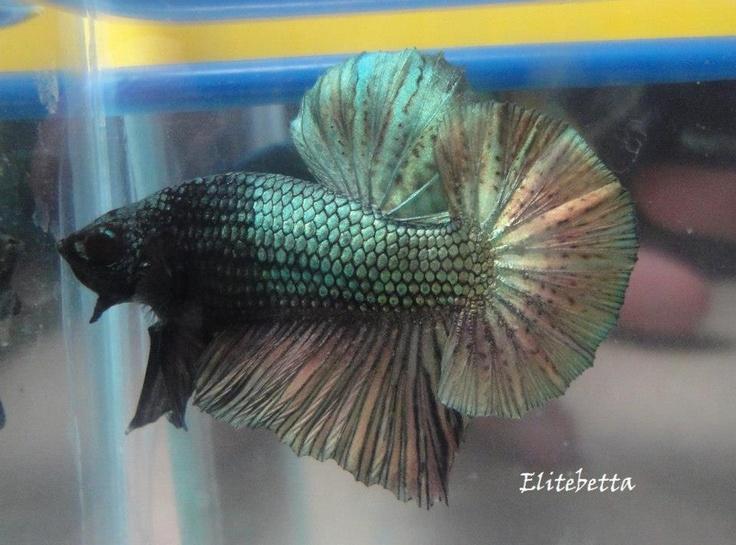 Elitebetta fish pinterest for Sierra fish in english