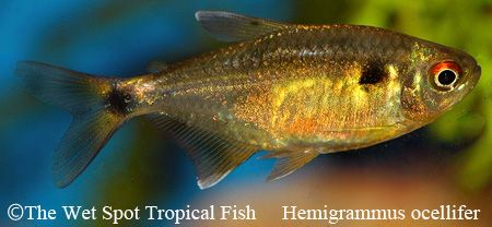 Pin by The Wet Spot Tropical Fish on Freshwater Fish: Characins Pin ...