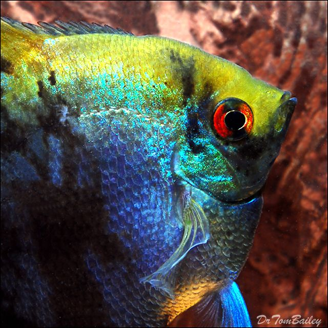 Freshwater angelfish jpg for Big freshwater aquarium fish