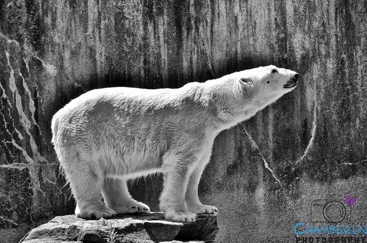 majestic polar bear...