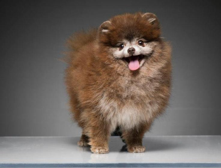 Pomeranian Yorkie Mix Haircuts   newhairstylesformen2014.com