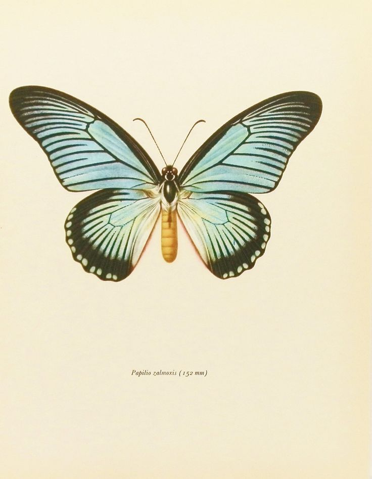 Vintage Butterfly Print  Shabby Chic Home Decor  African Blue    Vintage Butterfly Print