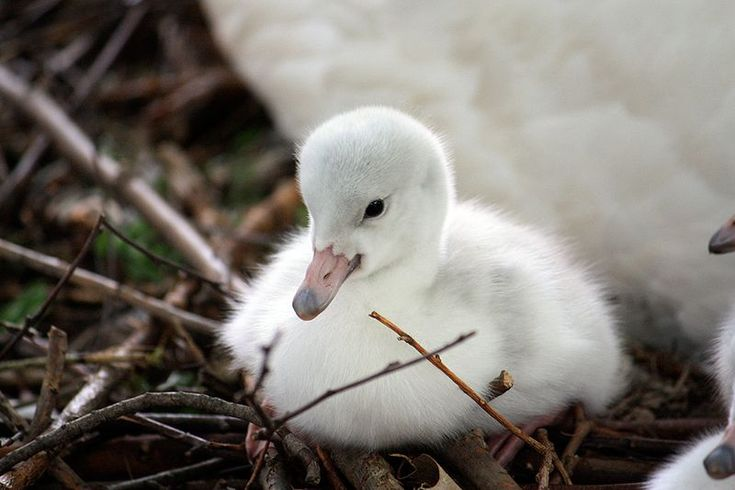 Trumpeter Swan Cygnet | Swans | Pinterest