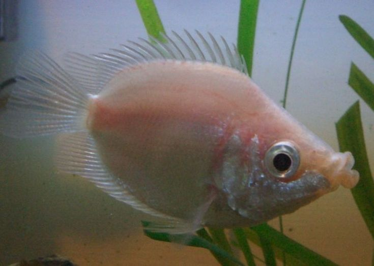 Kissing Gourami - we have 1 left... Hes gotten HUGE and seems to ...
