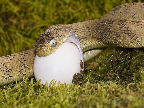 Egg-eating Snake   Rep...