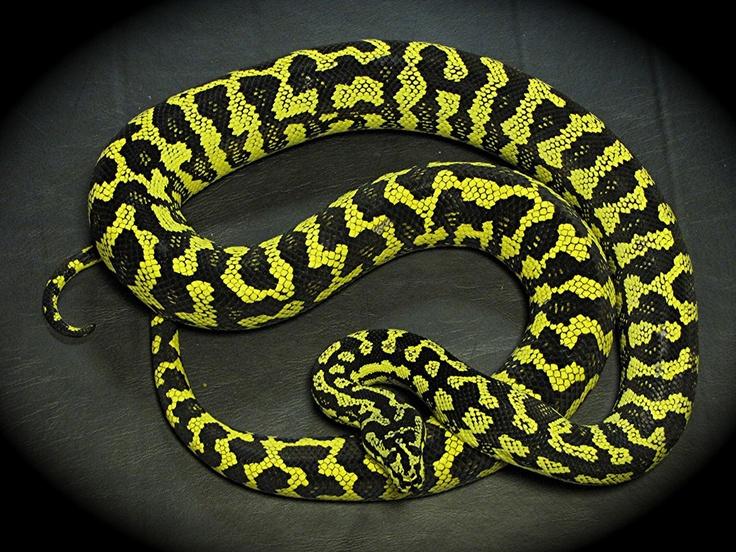 Carpet Python  Reptiles  Pinterest