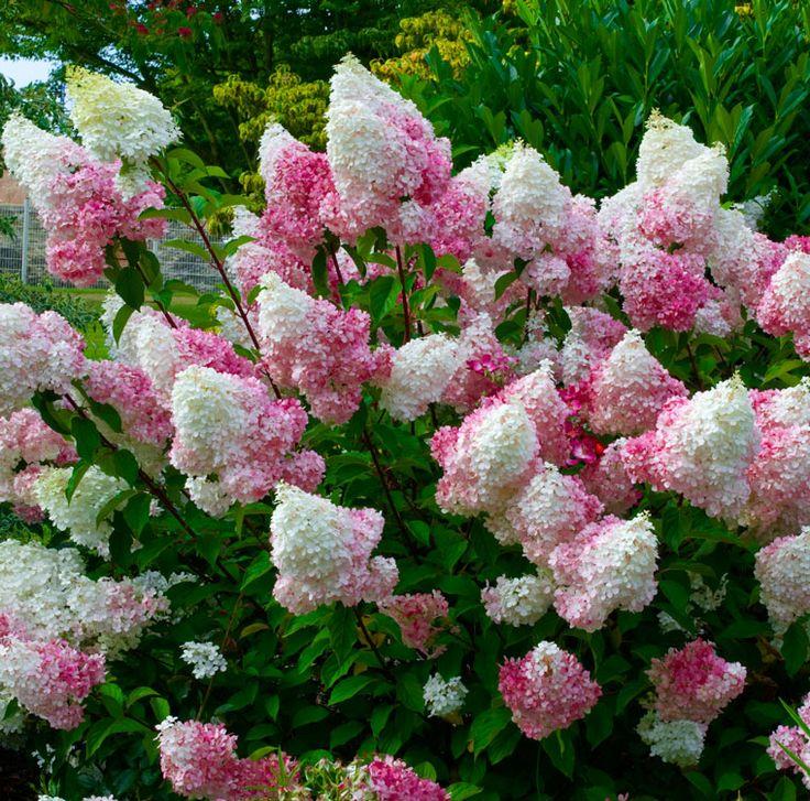 Hortensia vanille fraise renhy jardin pinterest for Briant plantes