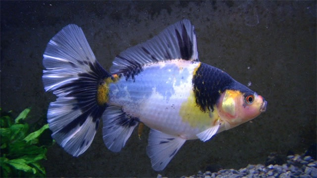Gold fish bristol shubunkin aqua pets pinterest for Shubunki fische