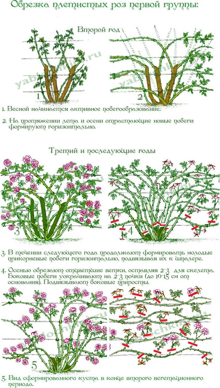 Обрезка плетистые розы уход и выращивание 77
