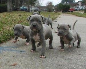 ... facts | Famous Pit Bulls « Pitbull Dog History Facts Stories Photos