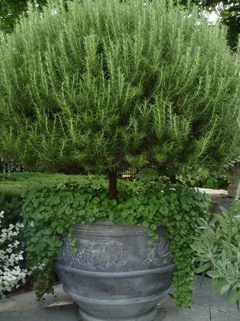 Topiary rosemary - Very nice!