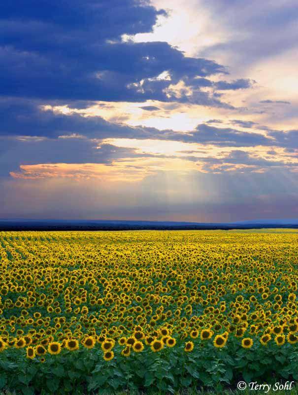 South Dakota Sunflower Fields America North South