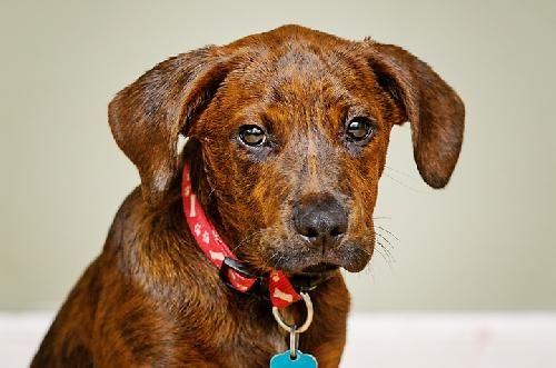 Boxer Bloodhound Mix Bloodhound/boxer mix.