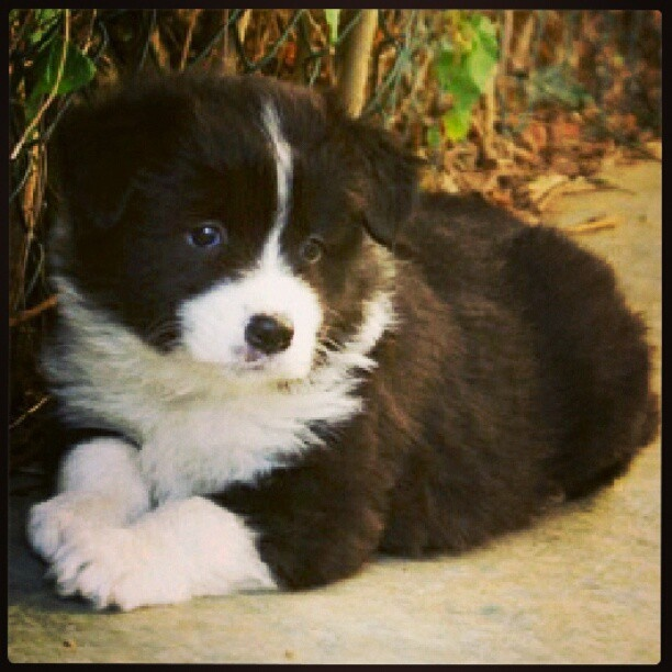 Oreos puppies cute top dogs pinterest