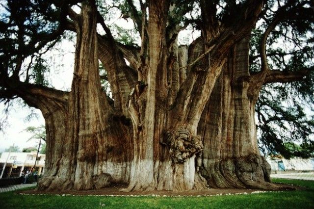Arbol Del Tule, in the Mexican state of Oaxaca, has the stoutest trunk of any tree in the world. In 2001, it was placed on the UNESCO list of World Heritage Sites. Sometimes called the Tree of Life because of all the animal shapes that can be seen in its gnarled trunk.