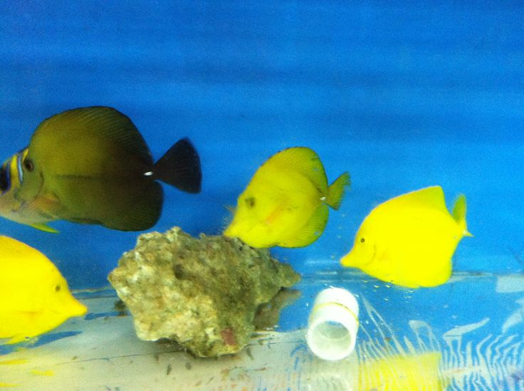 Yellow Tang  Zebrasoma flavescens   Scopas Yellow Hybrid Tang    Zebrasoma Scopas Yellow