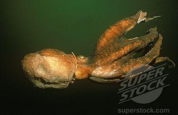 pacific ocean dangerous animals  Pacific Ocean Animals | SuperStock