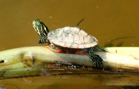 Aqua Turtle : Aquatic turtle Animals Pinterest