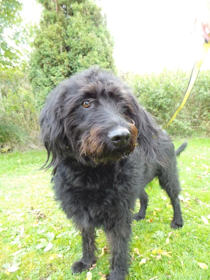 Labradoodle Rescue Dogs Uk