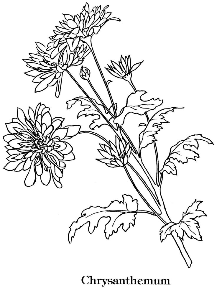 Chrysanthemums Images to COLOR