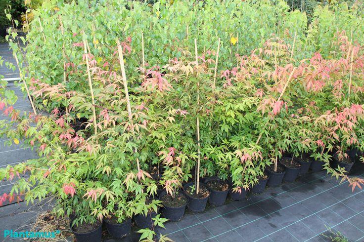 Pin by plantamus vivero galicia on arbustos y rboles for Arboles para jardines pequenos