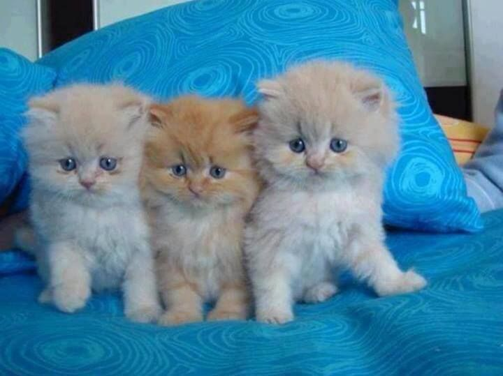 3 cute fluffy kittens animals pinterest The three cats
