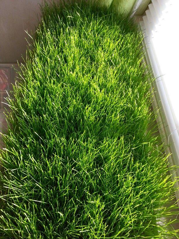 20/365 Growing. My grass football field centerpiece.