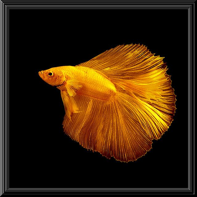 Gold betta fish pinterest for Betta fish price