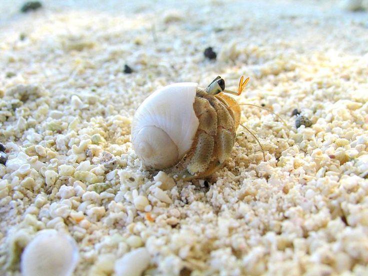 Smallest hermit crab in the world