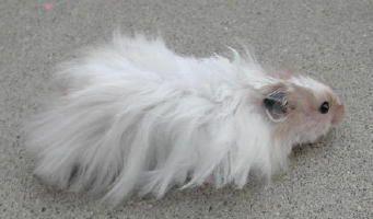 Long Haired Syrian Hamster Male | Syrian Hamster | Pinterest