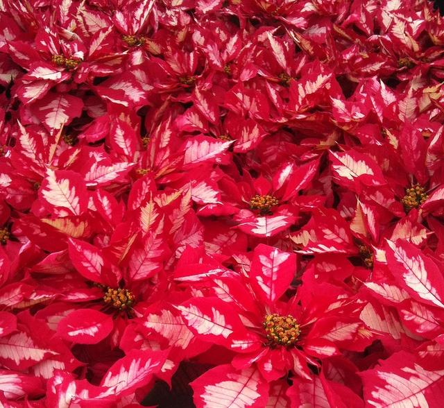 Pointsettia Raspberry Punch | Pretty Flowers | Pinterest