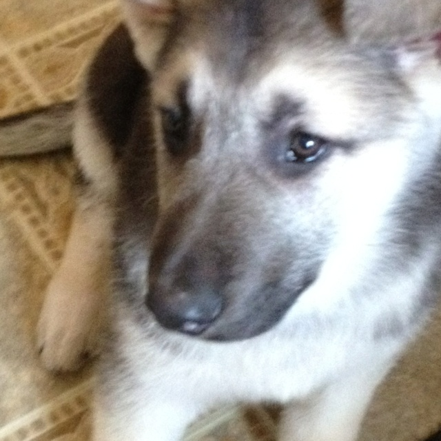Black & Silver German Shepherd puppy-- this could be my Wrangler as a ...