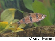 Clown Barb fish profile (freshwater) Aquarium Fish Species Pinter ...