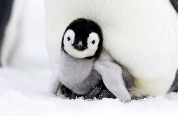 こちらを見つめるペンギン