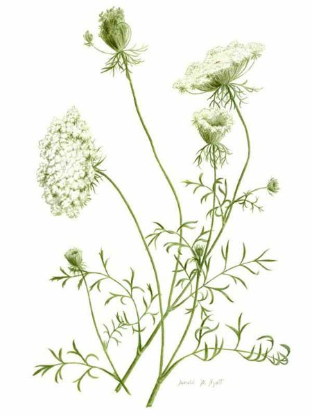 Queen Anne's Lace | Tattoo | Pinterest