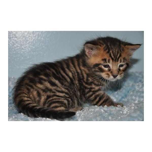 Toyger kittens for sale in beverly hills 310 276 5509 liked on