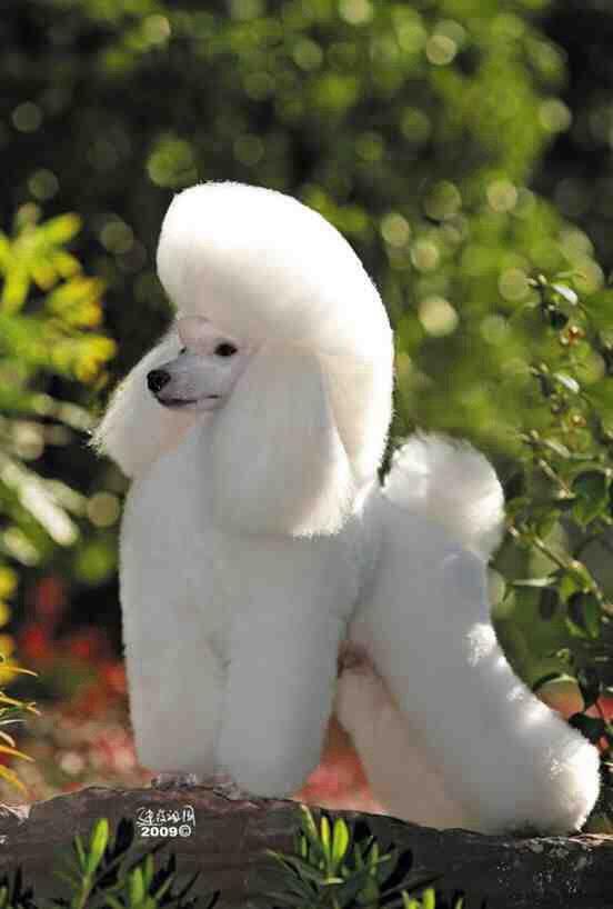 Beautiful | Poodles | Pinterest