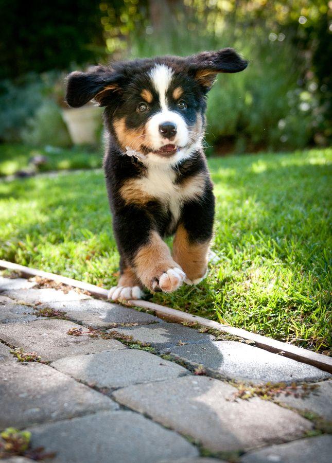 Bernese Mountain Dog Puppy | Cute dogs :) | Pinterest