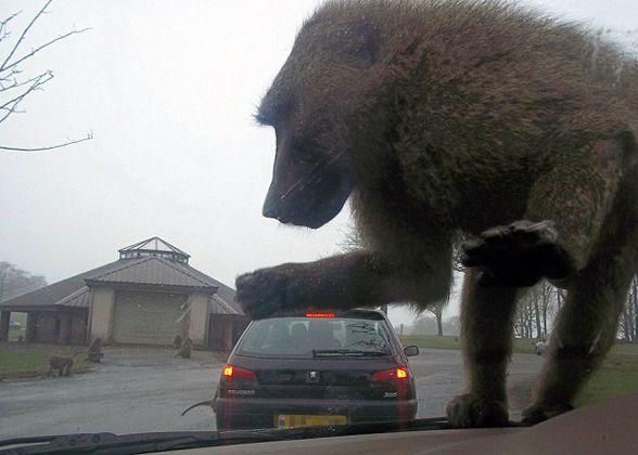 Giant baboon