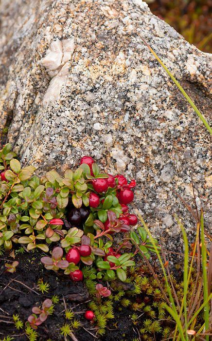 Tundra Berries Print by Wayne Vedvig