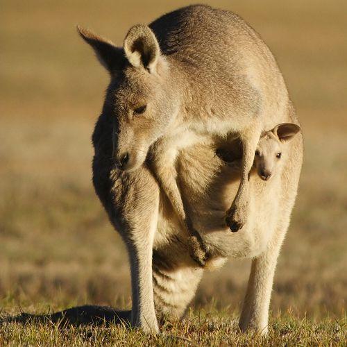 mama and baby kangaroo - photo #14