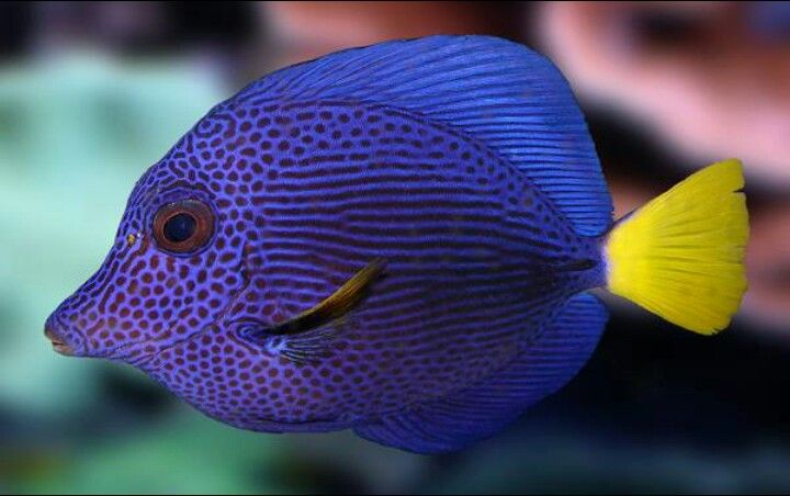 Purple And Yellow Saltwater Fish