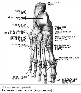 Foot skeleton anatomy