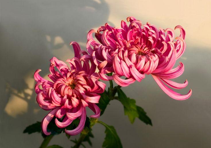 Chrysanthemum Flower Of November Flowers In Full Bloom