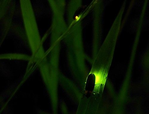 Fireflies belong in poems.  They have appeared in at least one of mine.